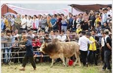À Cao Bang, les zébus entrent dans l'arène