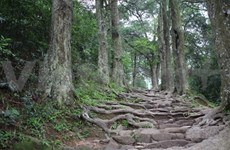 Les vieux pins de Yên Tu ont enfin une descendance