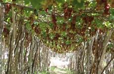 Succès du tourisme vitivinicole à Ninh Thuân