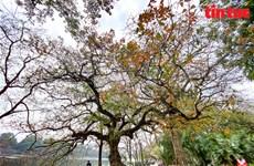"""Les rues de Hanoï à la saison du changement de la couleur des feuilles des arbres """"Loc vung"""""""