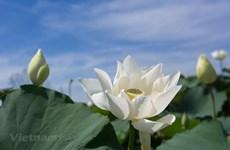La beauté immaculée de l'étang de lotus blanc en banlieue de Hanoï