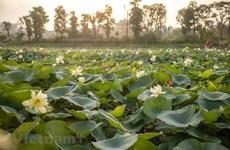 Poésie des lotus en banlieue de Hanoi