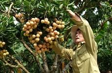 Le litchi « thieu » de Luc Ngan (Bac Giang) à la conquête de marchés exigeants