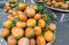 L'orange «Bu», un produit agricole clé du district de Huong Son (Ha Tinh)