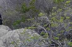 Protection urgente des langurs de douc à jambes noires trouvés à Ninh Thuân