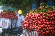 Se préparer à l'exportation de litchis frais du Vietnam au Japon