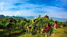 Un homme se consacre à la production de l'ancien thé Shan Tuyêt