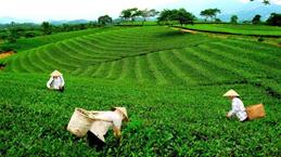 Pour renforcer les exportations de thé de Thai Nguyen