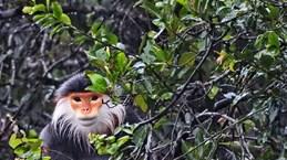 Thua Thien-Hue : un primate en voie de disparition relâché dans le parc national de Bach Ma