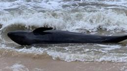 Une baleine de 300 kg s'échoue sur une plage de Phu Yen