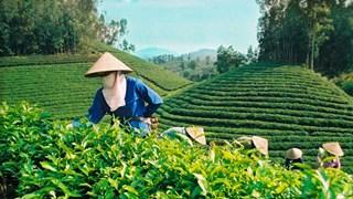 Les exportations du thé vietnamien se portent bien depuis janvier