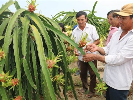 Le fruit du dragon, un filon économique à Tiên Giang