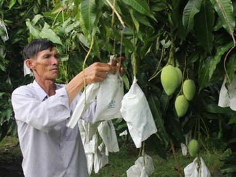 Les mangues vietnamiennes bientôt exportées aux États-Unis
