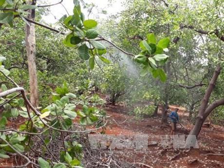 Un groupe néerlandais veut investir à la culture d'anacardiers propres à Binh Phuoc