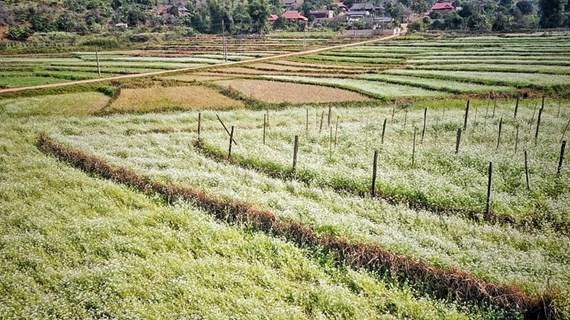Découvrir les beaux champs de fleurs à So Luon, Moc Chau