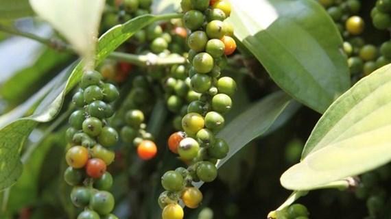 Les exportations de poivre vietnamien vers la France en hausse