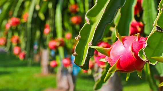 Indication géographique: le fruit du dragon de Binh Thuan protégé au Japon