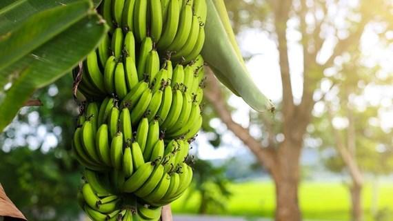 Ca Mau cherche à promouvoir la valeur de ses bananes