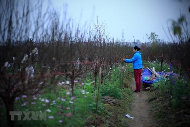 Les fleurs de pecher annoncent l'approche du Tet hinh anh 1