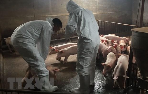 La FAO aide le Vietnam a lutter contre la peste porcine africaine hinh anh 1