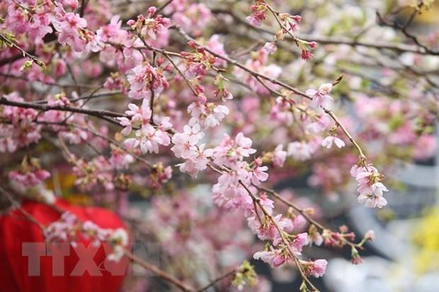 Quelque 20.000 branches de cerisier en fleurs illuminent le centre-ville de Hanoi hinh anh 2