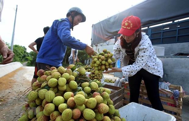 Exportation plus de 13.000 tonnes de litchis frais via la porte frontaliere de Tan Thanh hinh anh 1