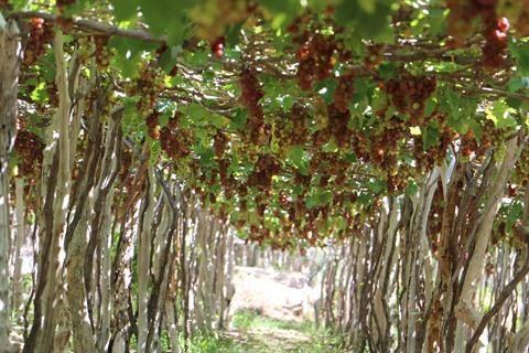 Succes du tourisme vitivinicole a Ninh Thuan hinh anh 1