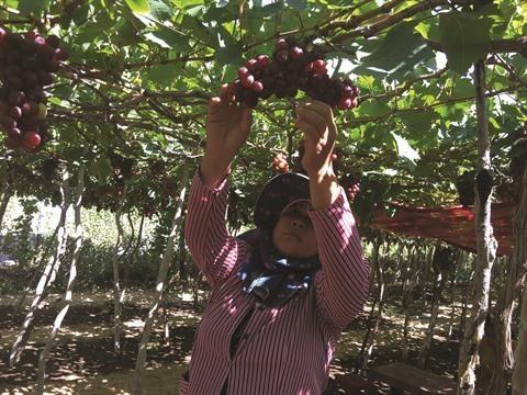 Succes du tourisme vitivinicole a Ninh Thuan hinh anh 2