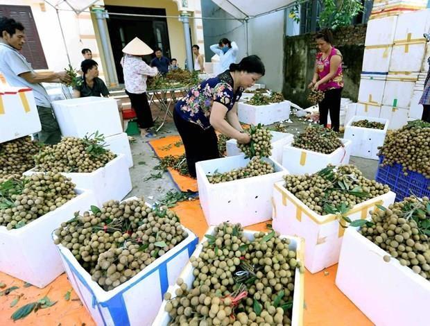 Exportation de longanes frais: le Vietnam attend le feu vert de l'Australie hinh anh 1