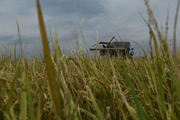 La Thailande risque de manquer son objectif d'exportation de riz hinh anh 1