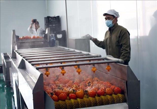Mise en service d'une usine de production de kakis seches a Lam Dong hinh anh 1
