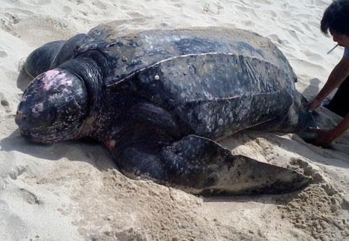 Thailande : des tortues marines rares reviennent pondre sur des plages vides de touristes hinh anh 1