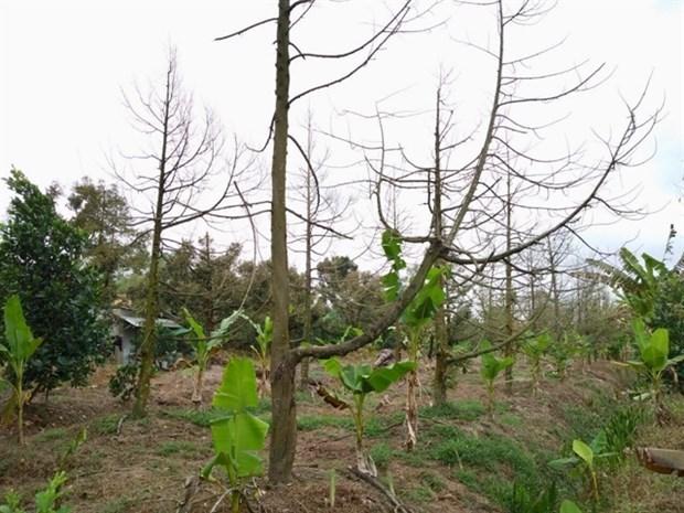 Tien Giang fait revivre les vergers de durian touches par l'intrusion d'eau salee hinh anh 1
