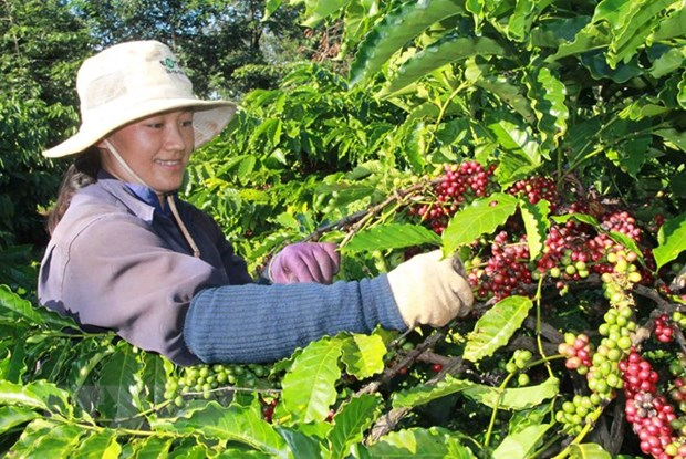 Cafe : les exportations etablissent un record hinh anh 1