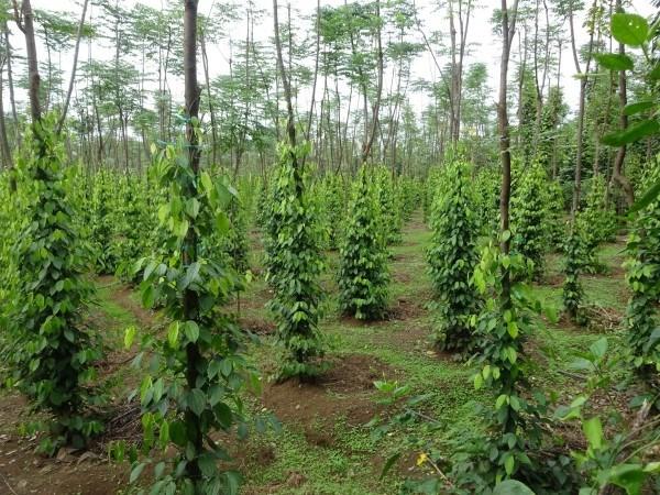 L'Association mondiale du poivre etudie le marche vietnamien hinh anh 1