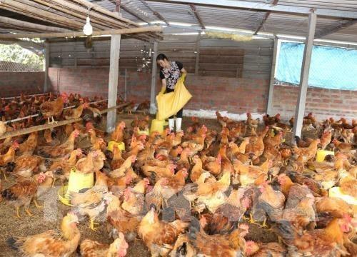 CPTPP: defis et opportunites pour le secteur de l'elevage au Vietnam hinh anh 1