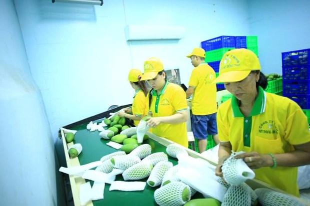 Vina T&T exporte 71 tonnes de mangues aux Etats-Unis hinh anh 1