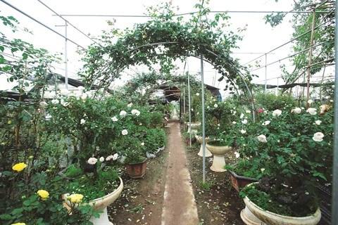 Les roses anciennes, une nouvelle tendance qui s'impose hinh anh 1