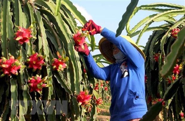 Le Vietnam exporte 5 tonnes de fruits du dragon a chair rouge vers l'Australie hinh anh 1