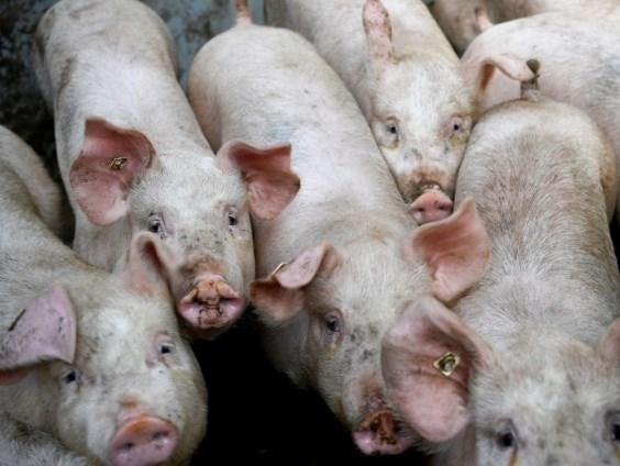 La Thailande limitera ses exportations de viande de porc hinh anh 1
