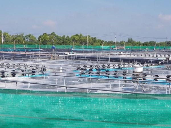 Bac Lieu deviendra un centre de production de crevettes du pays hinh anh 1