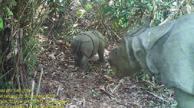 Decouverte de deux individus de rhinoceros de Java en Indonesie hinh anh 1