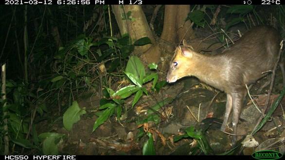 Decouverte du muntjac considere comme eteint dans la reserve naturelle de Phong Dien hinh anh 1