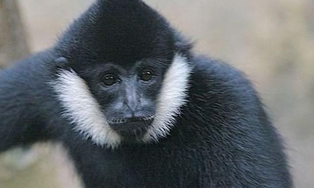 Le parc national de Vu Quang recoit un rare gibbon a favoris blancs hinh anh 1