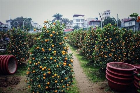 A la decouverte d'un jardin de kumquats au village de Tu Lien hinh anh 1