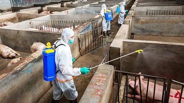 La FAO et l'OIE soutiennent le Vietnam dans sa lutte contre les epidemies de peste porcine africaine hinh anh 1