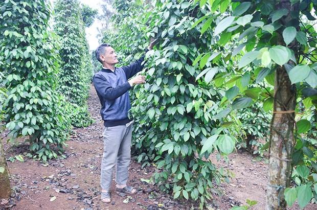 Le poivre de Quang Tri repond aux normes des marches americain et europeen hinh anh 1