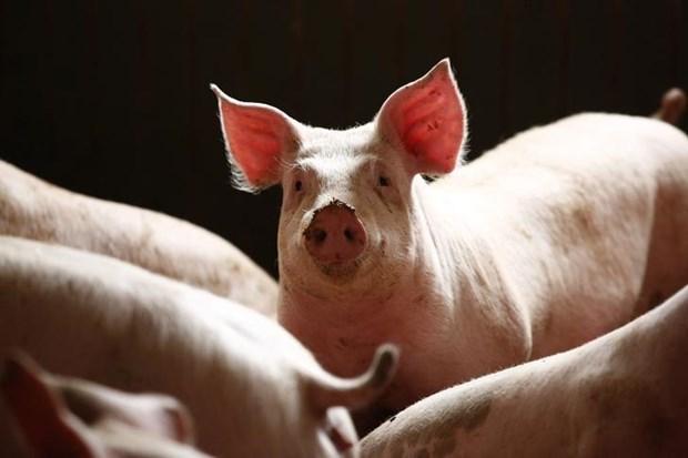 La peste porcine africaine se repand au Cambodge hinh anh 1