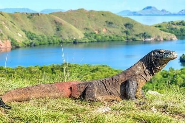 L'Indonesie construira un musee des dragons rares de Komodo hinh anh 1
