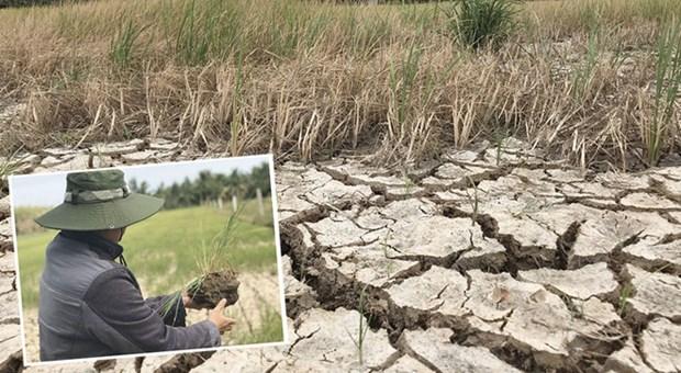 La secheresse et l'intrusion saline affectent gravement l'agriculture dans le delta du Mekong hinh anh 1